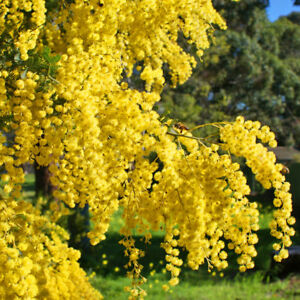 10 Seeds Mimosa Acacia Bush Tree Mediterranean Exotic Plant With