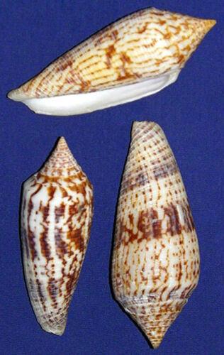Conus-Australis-Cone-Shell-3-034-Seashell-Craft-Supply-Select-1-3-Pcs