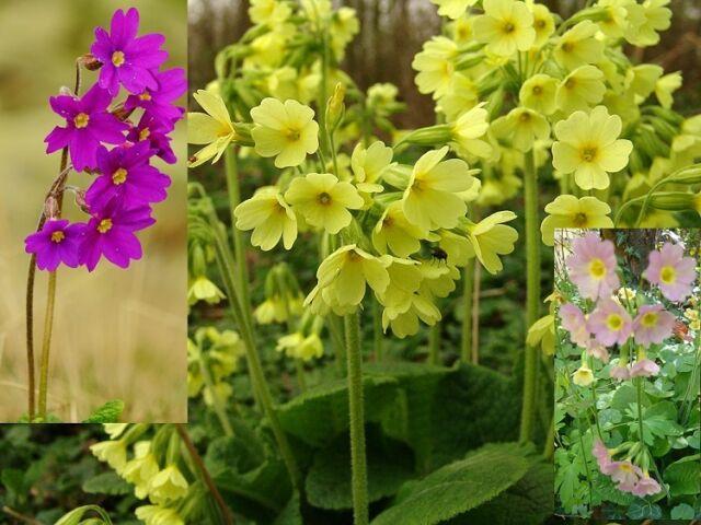 Primula Elatior Colossea x100 seeds F0397