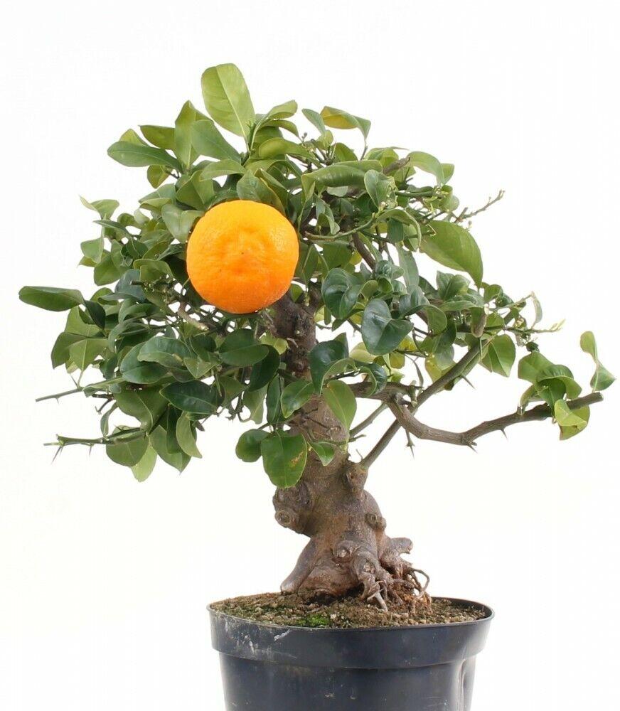 BONSAI-Citrus Spec., grandi frutti 197 17