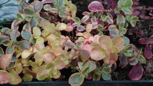 5 sedum Sedum red hardy  outdoor  Succculent fresh cuttings 3-4cm long