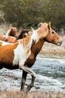 Chincoteague Horse Journal: 150 Page Lined Notebook/Diary by Horse Breed (Paperback / softback, 2016)