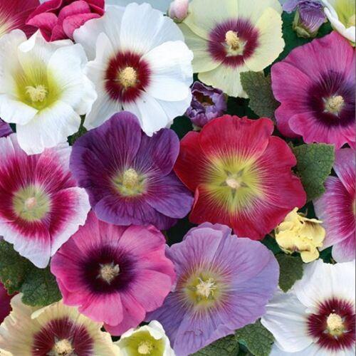 Kings Seeds Picture Packung Stockrose Halo Gemischte Blumen 40 Samen