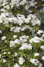exotische Blüten Rarität Saatgut seltene Garten Balkon Pflanze WALDMEISTER