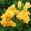 Bougainvillea-Bonsai-spectabilis-Willd-vivace-Fleurs-de-Jardin-100-Pcs-Graines-x miniature 2