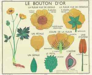 Ancienne-Carte-expo-affiche-scolaire-le-Bouton-d-039-Or-set-de-table-30-x-42-cm