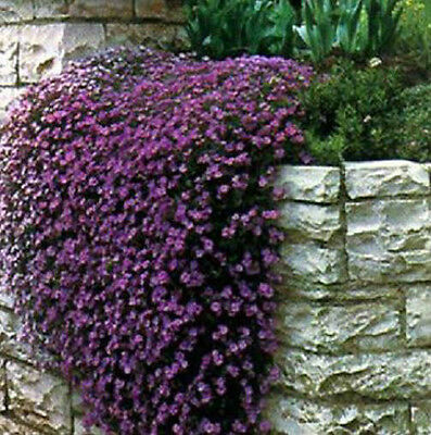 Rock cress 50+ Fresh Seeds Gorgeous Cascading Purple Rockcress Free Ship!