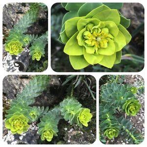 Rosenwurz Rhodiola Rosea Russe Ginseng Forte Précieux Räucherpflanze-afficher Le Titre D'origine Jzwslech-10104253-583611919