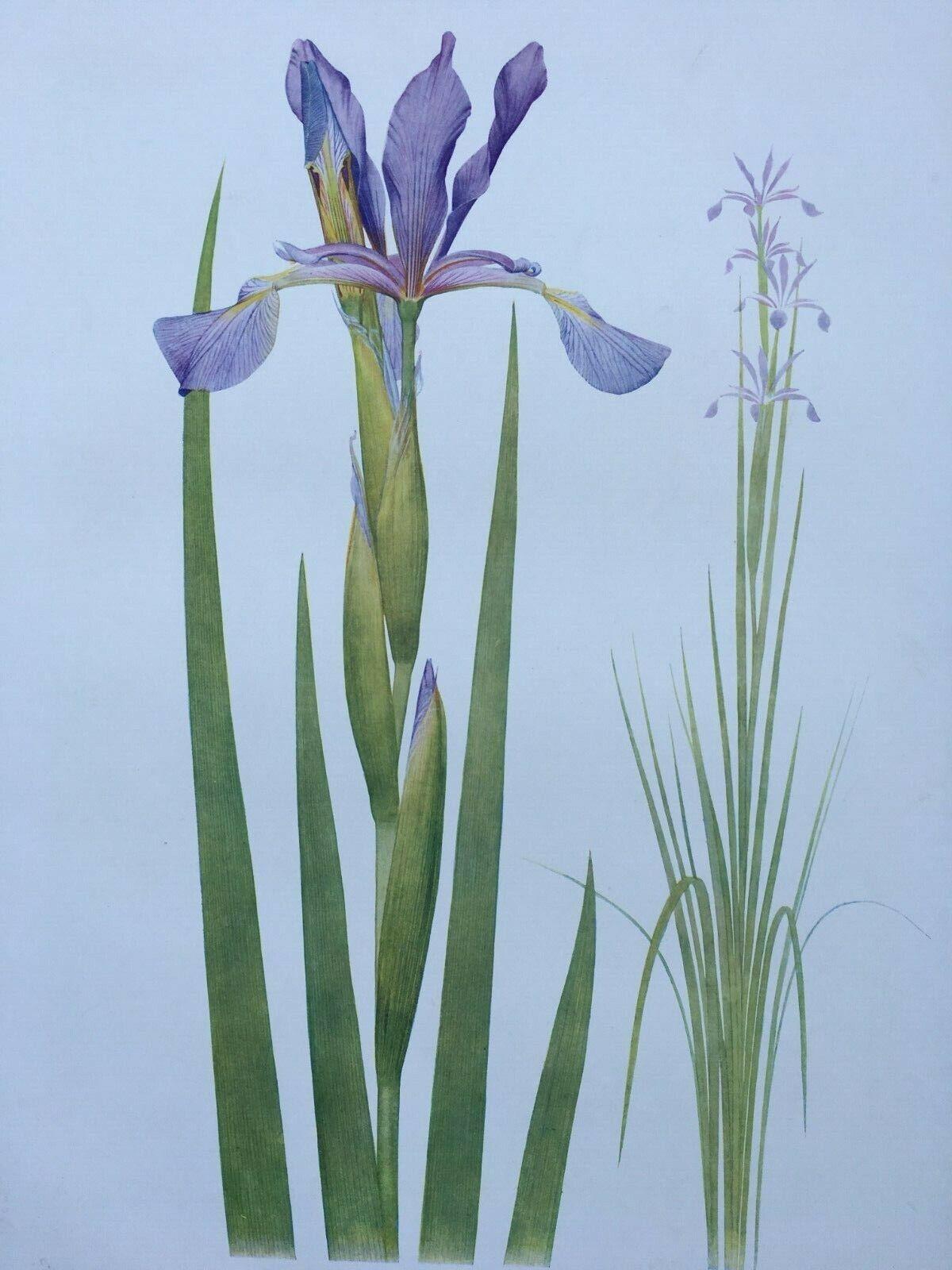Iris Antique Botanical Print 1913 Iris Spuria, W.R. Dykes