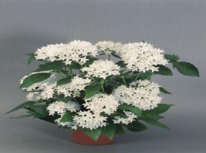 25-Pelleted-Seeds-Pentas-New-Look-White-Pentas-Seeds-Star-Flower