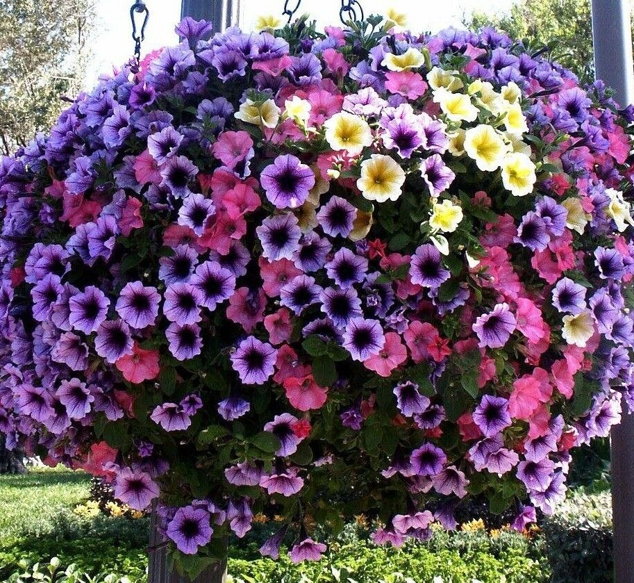 petunia cascade mix trailing hanging pots planters annual 50 seed ebay. Black Bedroom Furniture Sets. Home Design Ideas