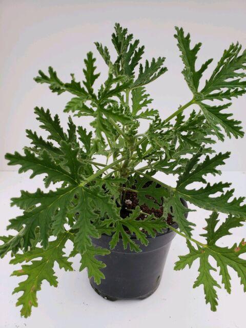 Live Plants Geranium Citronella Citrosa 6 Mosquito Plant