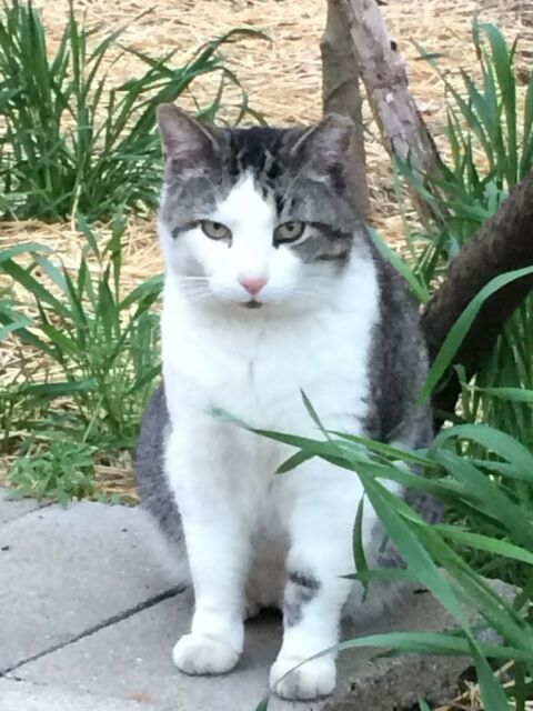 SPONSOR MR. STRIPE an EVICTED RELOCATED FERAL CAT RESCUE  Rec COLOR PHOTO