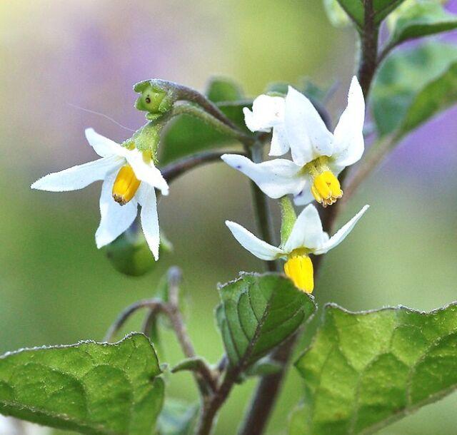 Black Nightshade Solanum Nigrum Garden Huckleberry Hierba Mora Seed ...