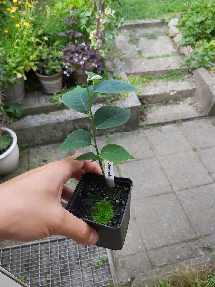 Plante, Sukkeræble