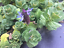 thumbnail 4 - SALE-Scaredy-cat-plant-coleus-canina-Keep-cats-out-of-your-yard-three-cuttings