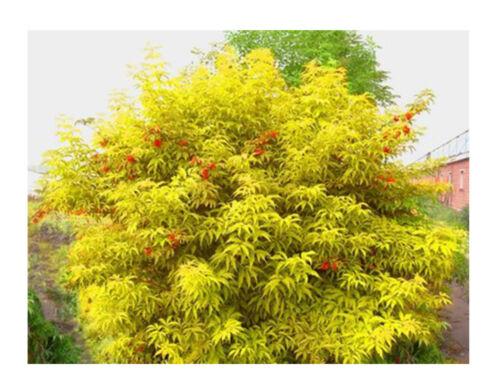 Ornamental  shrub Tree CombSH I85 Red Elderberry seeds Sambucus racemosa 50