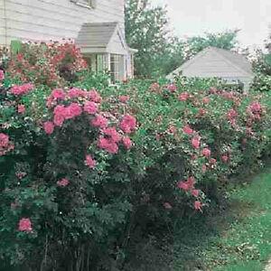 Rosa rugosa seeds rose bush pink flowering hedge vitamin rose hips image is loading rosa rugosa seeds rose bush pink flowering hedge mightylinksfo