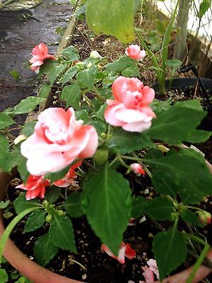 Impatiens Double Orange/White Quart Plant FREE SHIP