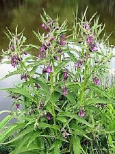 25 TRUE COMFREY Comphrey Symphytum Officinale Herb Seeds Purple Flowers + Gift