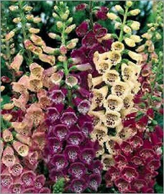 Digitalis Purpurea - 500 Seeds - Foxglove Excelsior Hybrids