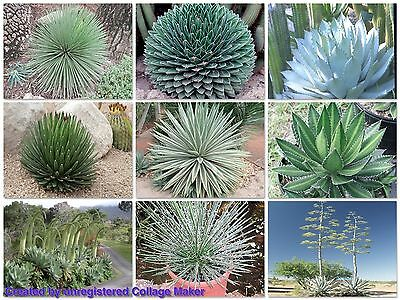 AGAVE MIXED SEED PACKET (Agave mixed species) 30 seeds