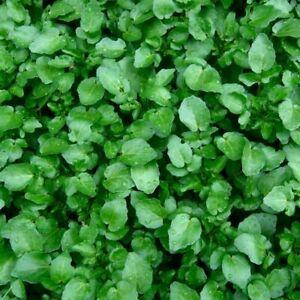 Seeds-Salad-Lettuce-Watercress-Broadleaf-Wild-Vegetable-Organic-Heirloom-Ukraine