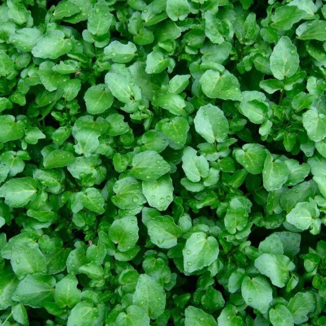 Seeds Salad Lettuce Watercress Broadleaf Wild Vegetable Organic Heirloom Ukraine