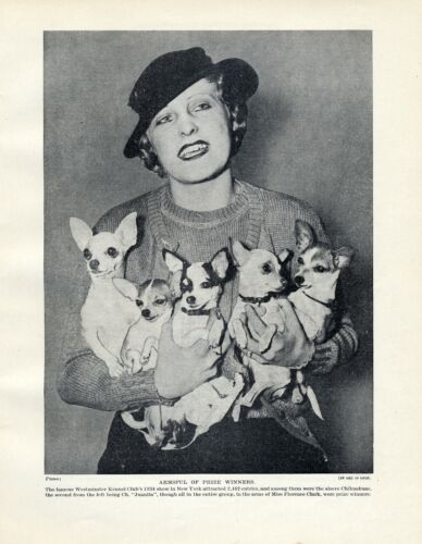 CHIHUAHUA VINTAGE PRINT PAGE  1934 LADY WITH 5 DOGS WESTMINSTER SHOW NEW YORK