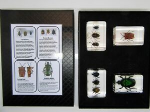 Beetles in resin real insects & information card in nature gift box