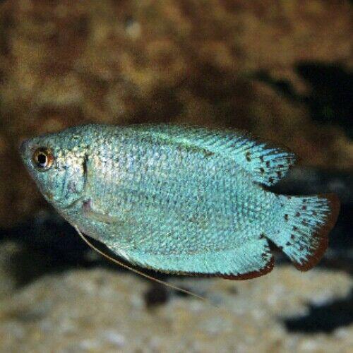 fwanabantoid1619098610 - (6) Cobalt Blue Dwarf Gourami Male 1.5'' *FS/H*