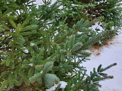 "20 Fresh Real Boughs 15/"" Red /& White Pine Evergreen Winter Wedding Bridal Shower"