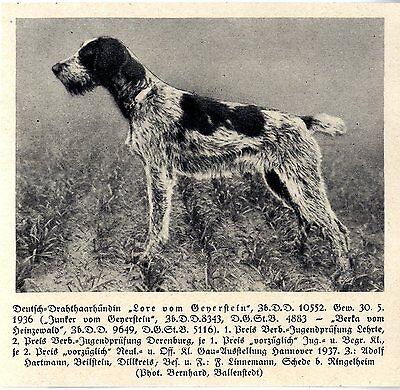 Hingebungsvoll Lore Von Geyerstein Deutsch-drahthaar Jagdhunde & Züchter 1930-40 Das Ganze System StäRken Und StäRken