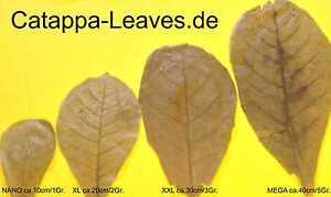 "200 Grammes Seemandelbaumblätter Au Choix Et Sans Frais De Port-catappa Leaves-lätter Nach Wahl Und Versandkostenfrei - Catappa Leaves"" Data-mtsrclang=""fr-fr"" Href=""#"" Onclick=""return False;"">afficher Le Titre D'origine K9x9rpbd-10124546-927513941"