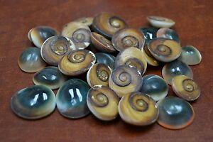 """Display Weddings 12 Red Cat Eye Seashells 1//2/"""" To 1/""""--Crafting"""