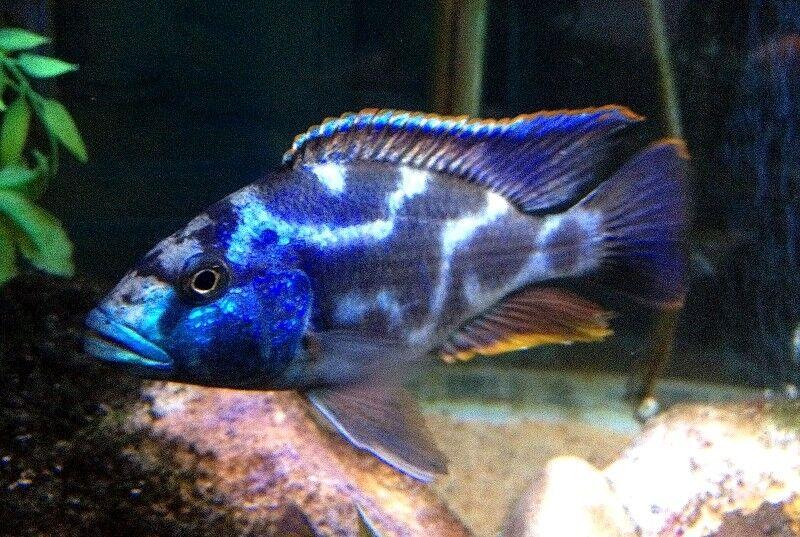 10 (ten) x Nimbochromis livingstonii (Lake Malawi Cichlid)
