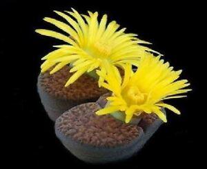 FlorCactusPiedra LivingLithops bromfieldii 100 semillasGrande