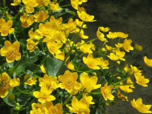 Palude Fiore DOTTER Caltha palustris-stagno pianta laghetto piante palude getopft