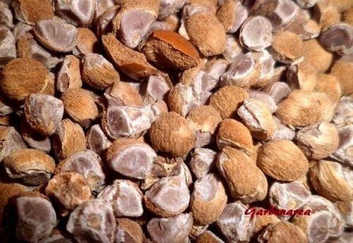 50+ Graines Bio Hawaiian Baby Woodrose 'Argyreia nervosa' Organic seeds