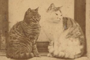 Cabinet-Photo-Two-Cats-Rare-2858