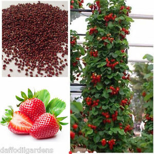 Red Climbing Strawberry Seeds, Garden Fruit Plant, Sweet And Delicious 30 Seeds