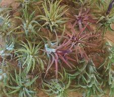 25 Tillandsia ionantha air plants bromeliad   cactus succulent
