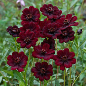 100PCs-Chocolate-Cosmos-Cosmos-Atrosanguineus-Heirloom-Rare-Flower-Seeds-Garden