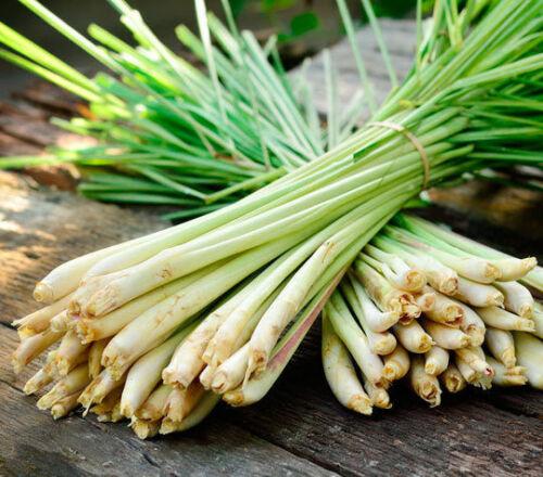 Lemongrass Tiges Plugs Cymbopogon Herb Sereh Plant EZ à croître Lemon Grass