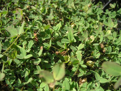 PALESTINE CLOVER Trifolium Fragiferum Pink Flower Seeds 300 STRAWBERRY HEADED