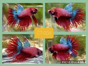 Crowntail blue&red - Live Male Betta Fish - CT004 - high quality