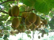 100 Grams approx. 45000 Seeds KIWI Fruit Tropical Bearing Vines Edible Wholesale