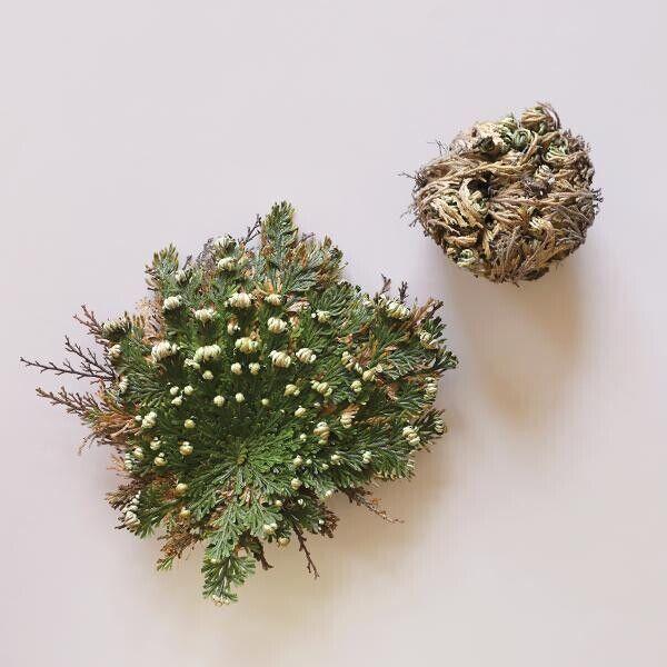 "Jerico Rose ""Resurrection Plant"""