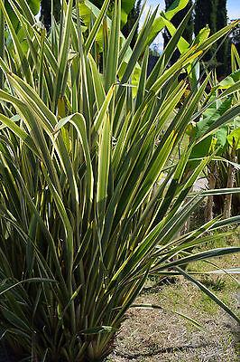 exotisch Garten Pflanze Samen winterhart Sämereien Exot Staude DUFTTABAK