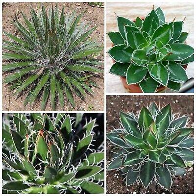saftig Sukkulenten,seed succulents G 10 Samen der Dasylirion texanum